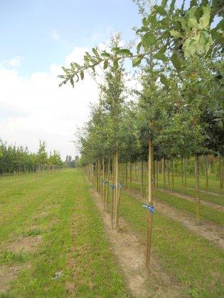 Quercus-trojana