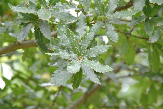 Quercus Trojana