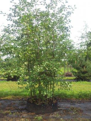 Alnus Glutinosa Woodside Forest