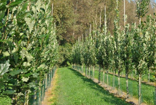 Quercus Warei Kindred Spirit 1