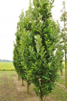 Quercus-warei-regal-prince-long
