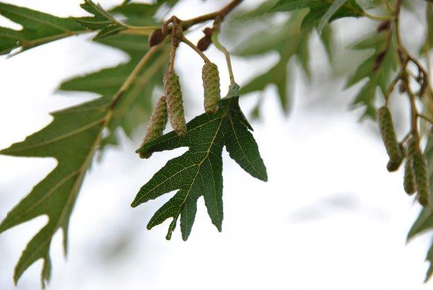 Alnus-glutinosa-laciniata