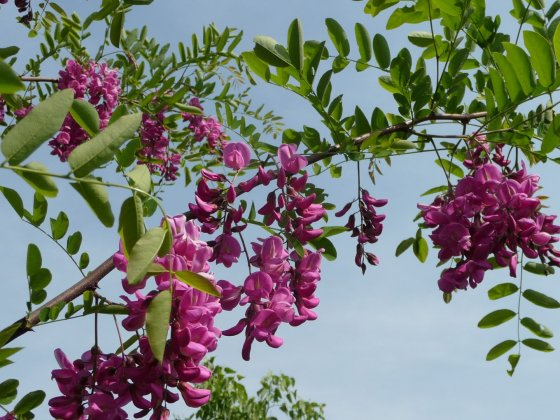 Robinia-margaretta-casque-rouge-pink-cascade