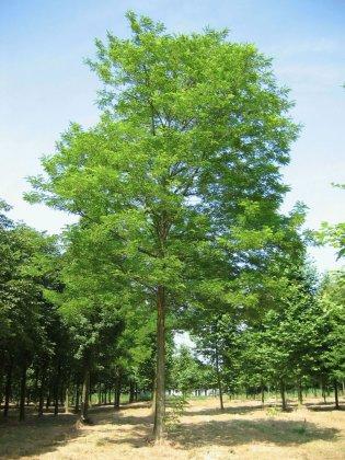 Robinia Pseudoacacia 1-1