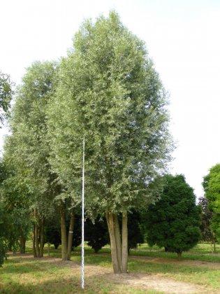 Salix Alba 1-1