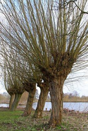 Salix Alba 1