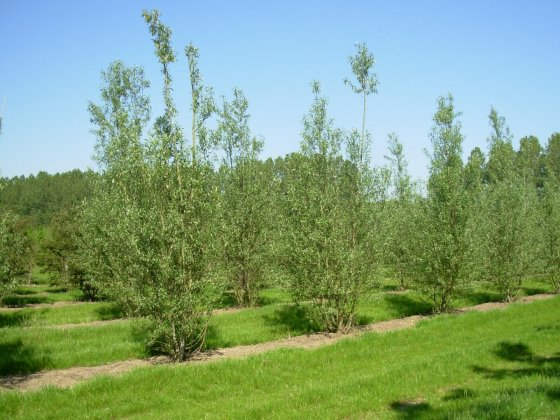 Salix Alba 2