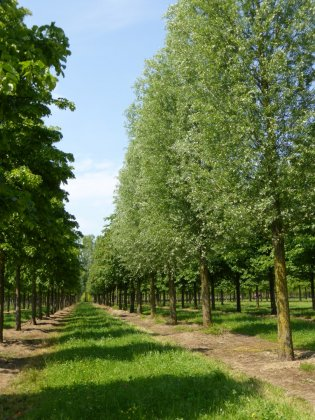 Salix Alba 4-1