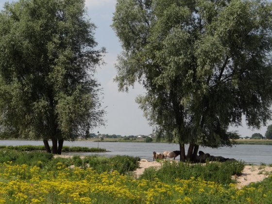 Salix Alba 4