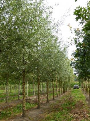 Salix Alba 5