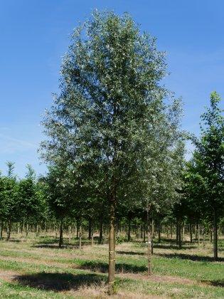 Salix-alba-5060