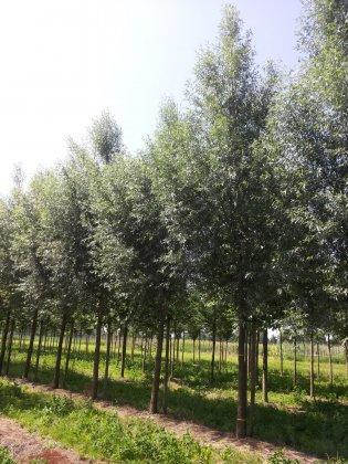 Salix Alba Belders-1