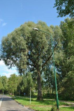 Salix Alba Belders