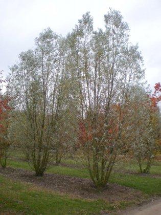 Salix Alba Belders 1
