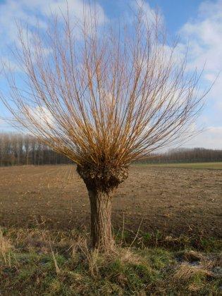 Salix-alba-chermesina