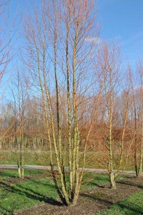 Salix Alba Chermesina 1