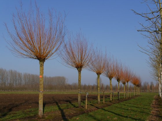 Salix Alba Chermesina 2