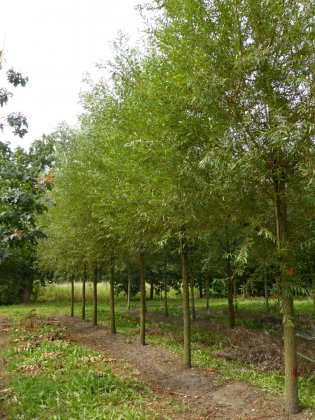 Salix Alba Chermesina 3