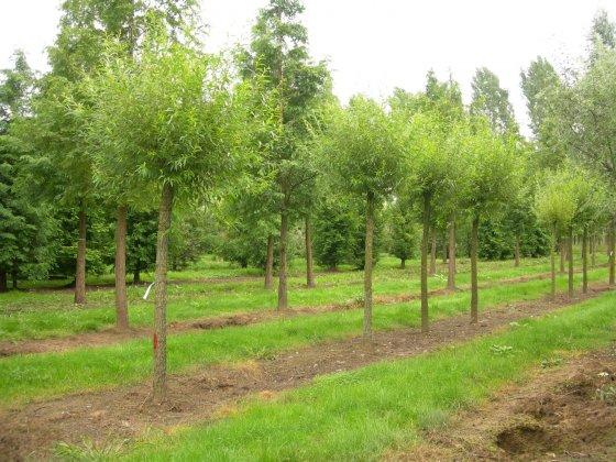 Salix Alba Chermisina