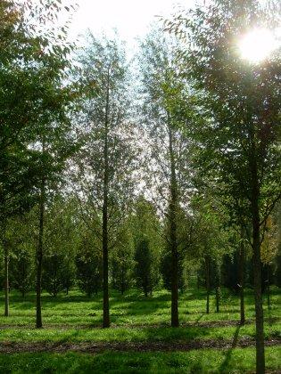 Salix-alba-liempde-50-60