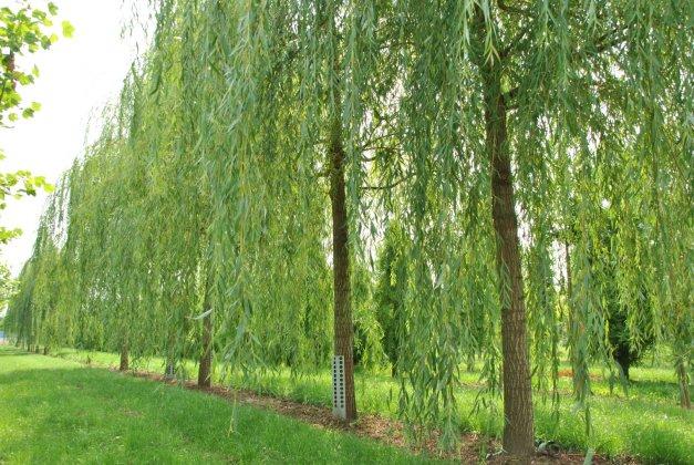 Salix Sepulcralis Chrysocoma-2