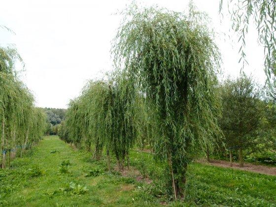 Salix Sepulcralis Chrysocoma 1