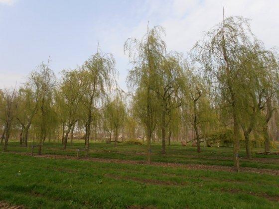 Salix Sepulcralis Chrysocoma 2