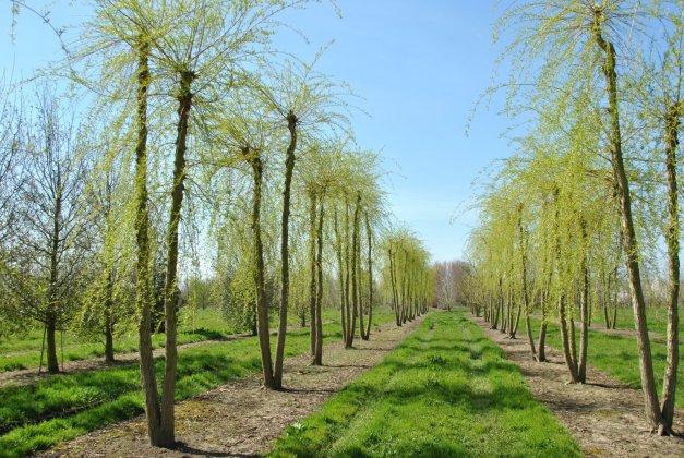 Salix Sepulcralis Chrysocoma 3