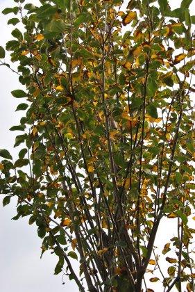 Amelanchier-alnifolia-obelisk