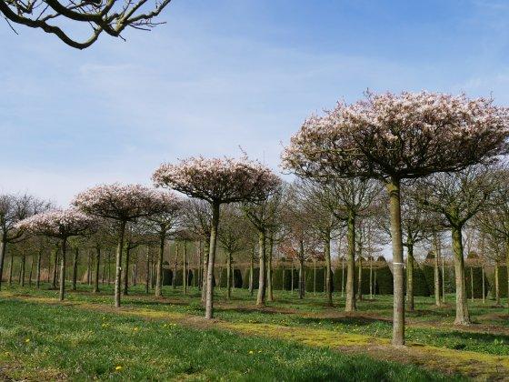 Amelanchier-arborea-robin-hill-35-40-45d-pob