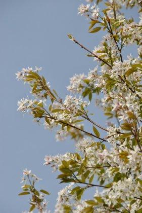 Amelanchier Arborea Robin Hill-1