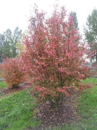 Amelanchier Arborea Robin Hill 1