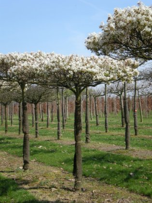 Amelanchier Arborea Robin Hill 3