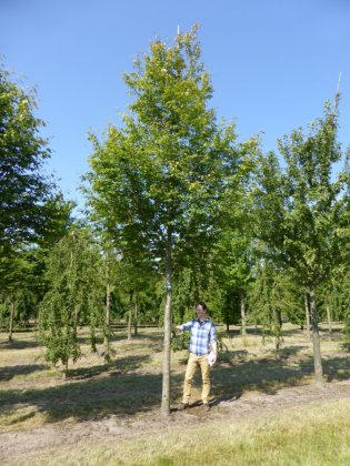 Amelanchier Arborea Robin Hill 4