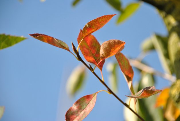 Amelanchier-autumn-briliance