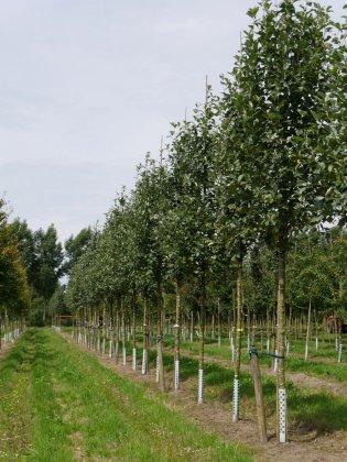 Sorbus Aria Lutescens-1