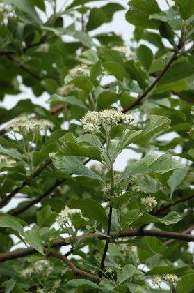 Sorbus-aria-majestica