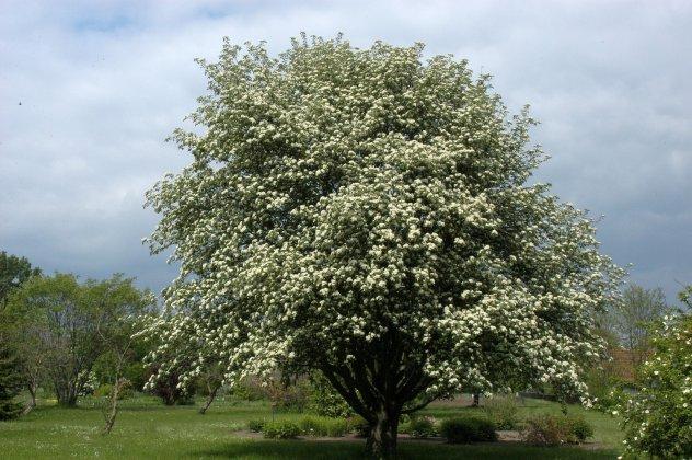 Sorbus-intermedia