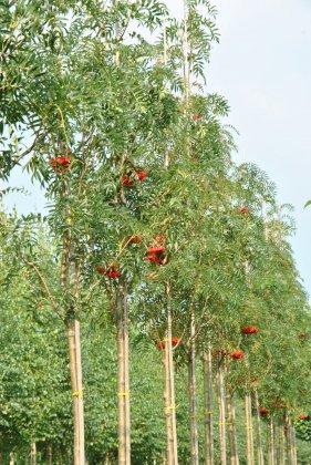 Sorbus Dodong-1