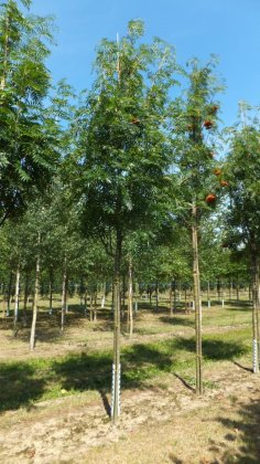 Sorbus Dodong-2