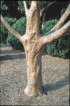 Stewartia-monadelpha