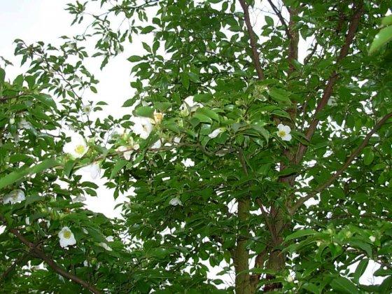 Stewartia Monadelpha 2 1
