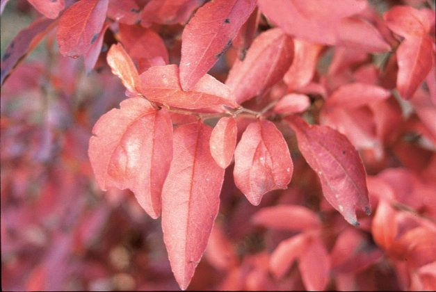 Stewartia Monadelpha 3