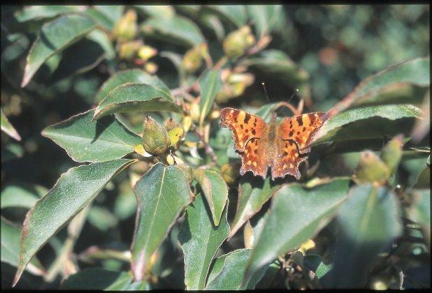Stewartia Monadelpha 5