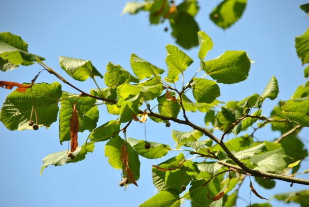 Tilia Platyphyllos Delft-1