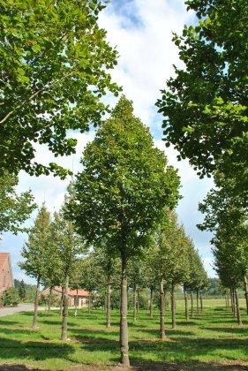 Tilia Platyphyllos Delft 1