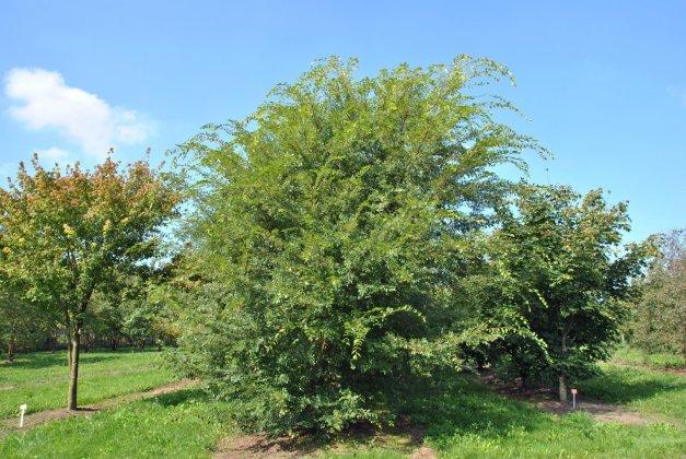 Ulmus-parvifolia