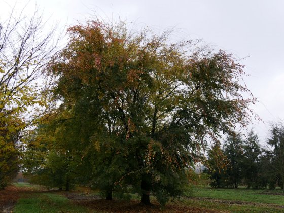 Ulmus Parvifolia-1