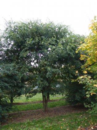 Ulmus Parvifolia 1-1