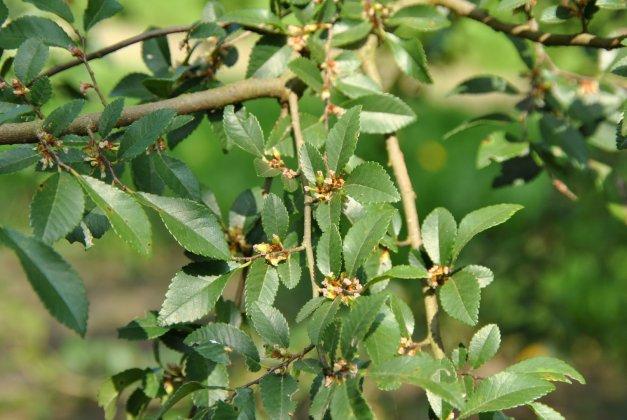 Ulmus Parvifolia 1